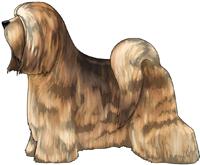 Sable Tibetan Terrier