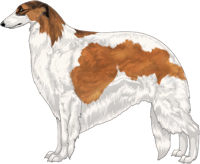 Sabled Red with Black Mask and Piebald White Markings Borzoi