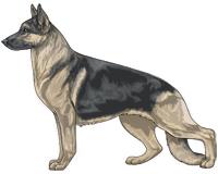 Saddleback Blue and Cream German Shepherd Dog