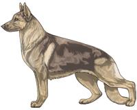Saddleback Fawn and Cream German Shepherd Dog