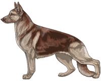 Saddleback Liver and Cream German Shepherd Dog