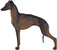 Seal Italian Greyhound