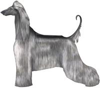 Silver Afghan Hound
