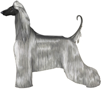 Silver with Black Mask Afghan Hound
