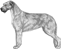 Silver Irish Wolfhound