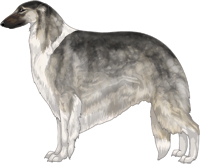 Silver Sable with Black Mask and Irish White Markings Borzoi