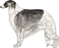Silver Sable with Black Mask and Piebald White Markings Borzoi