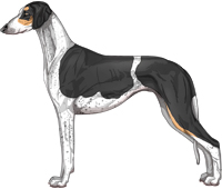 Black and Tan Parti Smooth Saluki