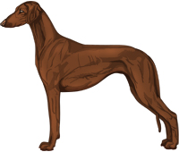 Chocolate Smooth Saluki