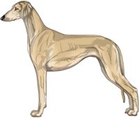 Fawn Smooth Saluki