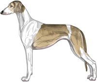 Fawn Grizzle Parti Smooth Saluki