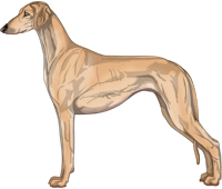 Golden Smooth Saluki