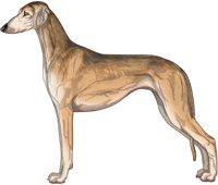 Golden Grizzle Smooth Saluki
