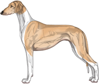 Golden Irish Smooth Saluki
