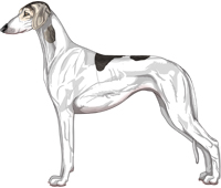 Silver Grizzle Parti Smooth Saluki