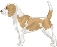 Tan & White Beagle