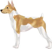 Tan & White Rat Terrier