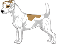 Tan and White Smooth Coat Jack Russell Terrier