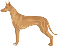 Tan White Markings Pharaoh Hound