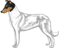 Tri Head White Smooth Collie