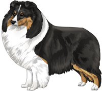Tricolor Shetland Sheepdog