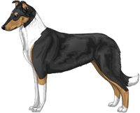 Tricolor Smooth Collie