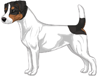 Tri-Color Smooth Coat Jack Russell Terrier