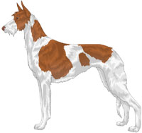 Red and White Wire-Haired Ibizan Hound