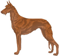 Red Wire-Haired Ibizan Hound