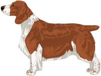 Full Saddle and Ticked Red & White Welsh Springer Spaniel