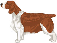 Full Saddle Red & White Welsh Springer Spaniel