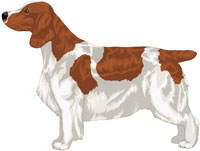 Patched Red & White Welsh Springer Spaniel