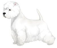 White West Highland White Terrier