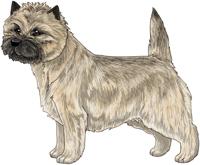 Wheaten Cairn Terrier