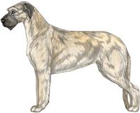 Wheaten Irish Wolfhound