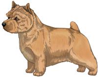 Wheaten Norwich Terrier