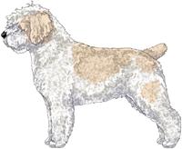 White & Beige w/Black Nose Spanish Water Dog