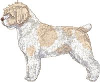 White & Beige w/Brown Nose Spanish Water Dog