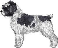 White & Black Spanish Water Dog