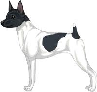 White & Black Toy Fox Terrier
