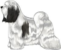 White and Black Tibetan Terrier