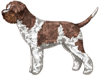 White & Brown Lagotto Romagnolo