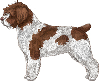 White & Brown Spanish Water Dog
