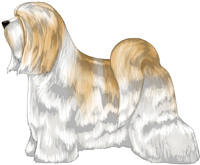 White and Gold Tibetan Terrier