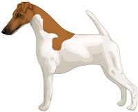 White & Tan Smooth Fox Terrier