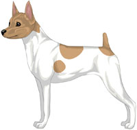 White & Tan Toy Fox Terrier