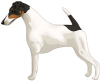 White Black & Tan Smooth Fox Terrier