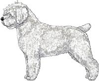 White w/Black Nose Spanish Water Dog
