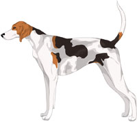 White Black and Tan American Foxhound