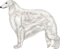 White Borzoi